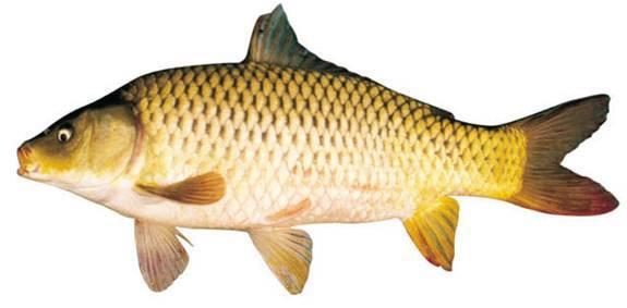 Cá chép nhà hàng quá ngon